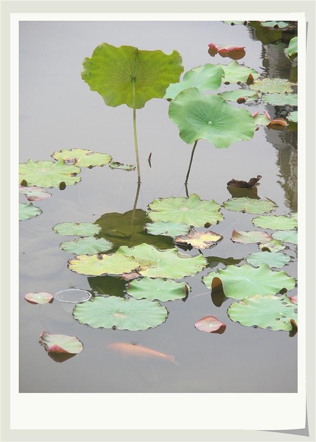 再拍睡莲(摄影组图) - 深秋 - 深秋的故事的博客